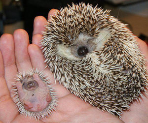 hedgehog, animal, and baby image