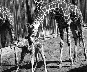 black, giraffes, and zoo image