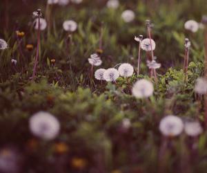 dandelion, flowers, and © www.aliciabock.com image