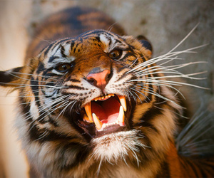 animal, teeth, and tiger image