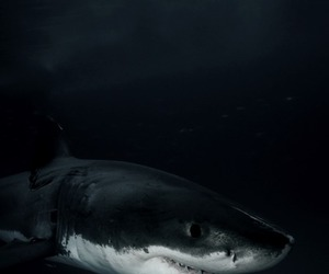 shark, ocean, and animal image