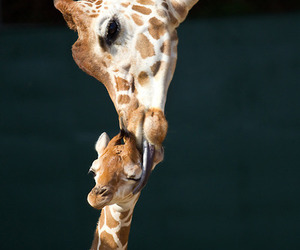 giraffe, baby, and kiss image