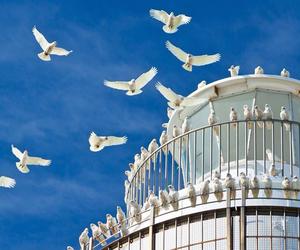 australia, bird, and dove image