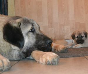 chien, kangal, and berger d'anatolie image