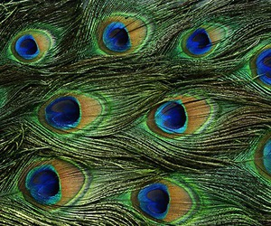 beautiful, feather, and peacock image