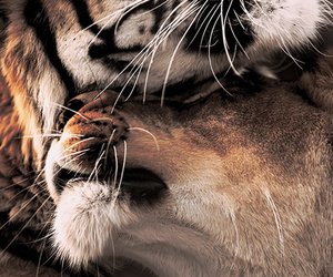 tiger, love, and animal image
