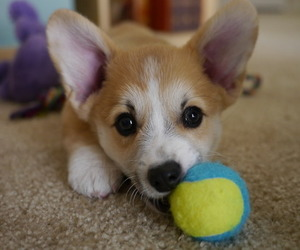 animal, corgi, and dog image