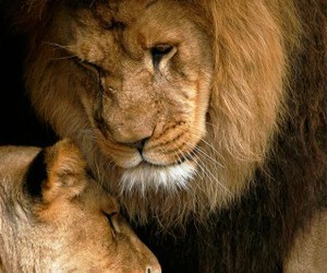 cats, lions, and love image
