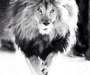 beautiful, lion, and black & white image