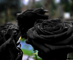 rose, black, and flowers image