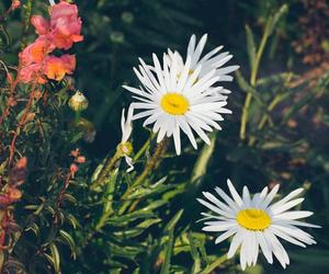 art, nature, and daisy image