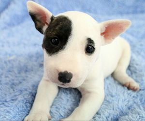 bull terrier, cute animals, and dog image