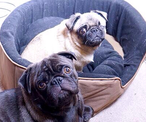 pugs, pewdiepie, and dogs image