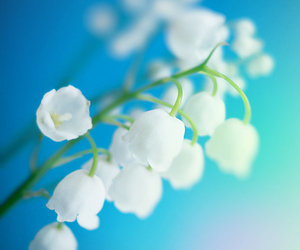 flowers, lily of the valley, and macro image