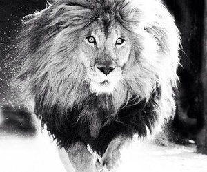 black and white, lion, and beautiful image