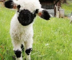 cute, sheep, and animal image