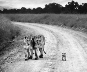 baby, lions, and mother and father image