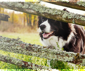 border collie, collie, and dog image