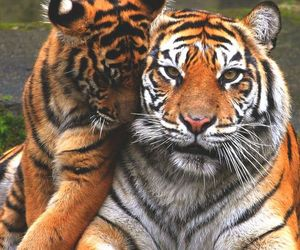 animals, tigers, and wild image