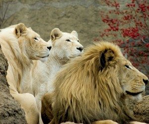africa, animal, and big cats image