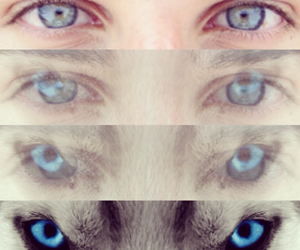 eyes, blue, and wolf image