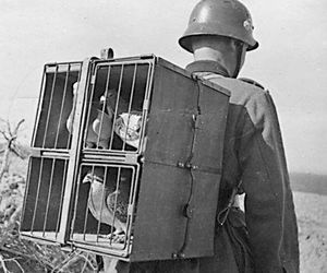 pigeon and carrier image
