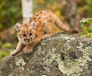 baby animals, COUGAR, and D80 image