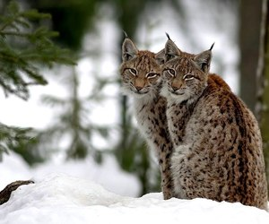 big cat, forest, and nature image