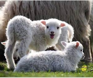 baby, cute animals, and lamb image