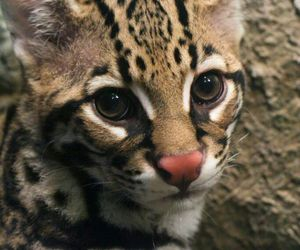 animal, cat, and ocelot image