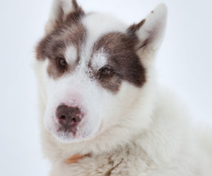 dog, photography, and greenland dog image