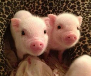adorable, pigs, and baby image