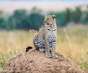africa, big cat, and leopard image