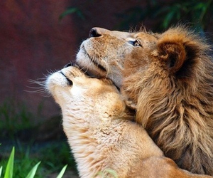 lion, couple, and cute image